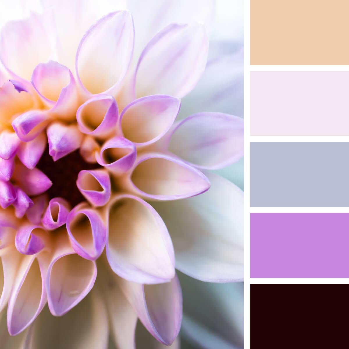 White & Lilac Dahlia
